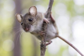 Pygmy Field Mouse (Apodemus (Sylvaemus) uralensis) scrambles up a branch