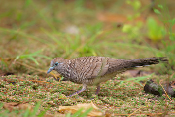 Sperbertaube (Geopelia striata) sitzt auf dem Boden auf Praslin, Seychellen.