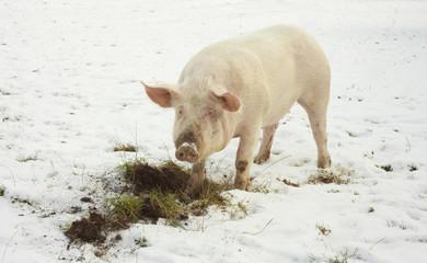 domestic pig, farm animal eating grass in winter scene