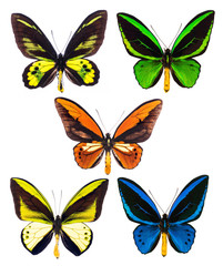 Set of five tropical Ornithoptera birdwing butterflies isolated