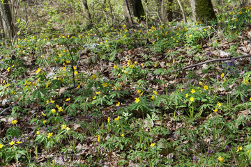 First  spring  April yellow flowers blossom on sunny forest  glade.