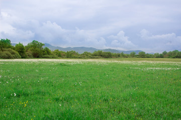 Green spring meadow field with narcissuses near forest and mountains