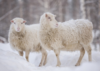 white sheep standing in the snow