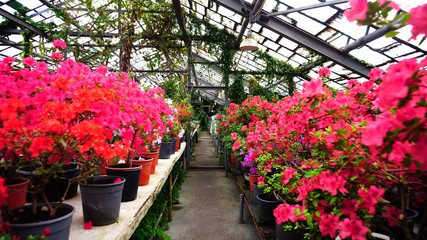 Flowers stand on two rows. Pink and blue flowers in pots have fresh smell. Concept of modern flower growing and big selection in shops.