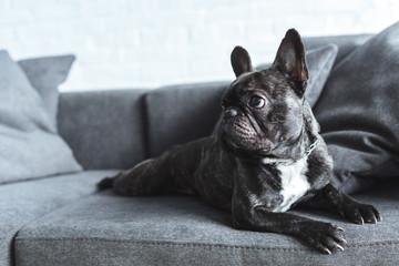 Foto op Aluminium Franse bulldog Funny Frenchie dog lying on grey sofa