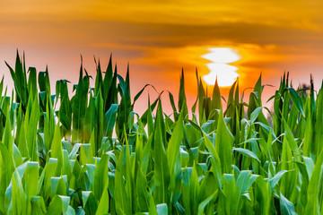 Sunset on cornfield