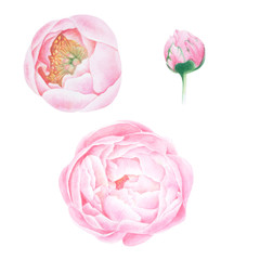 Watercolor set of pink peonies