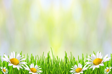 Fototapete - Spring or summer abstract background with green grass and flowers chamomiles bokeh lights