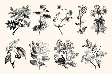 Vintage Floral Line Art - Early 1800s Botanical Illustrations