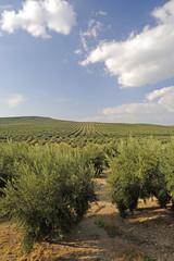 Monokultur im Olivenanbau - Spanien