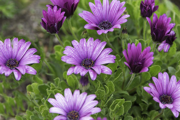 Closeup of purple daisies with rainwater on the petals