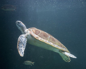 Sea turtle (Chelonioidea)