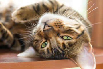 Cat breed Toyger lazily lying on a wooden shelf.