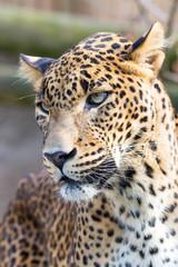 cejlon Sri Lankan leopard, (Panthera pardus kotiya)