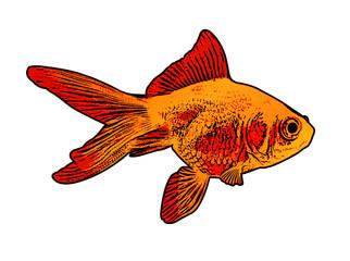 gold fish illustration - vector