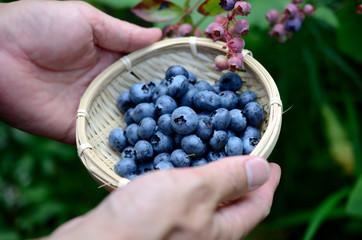 ブルーベリーの収穫