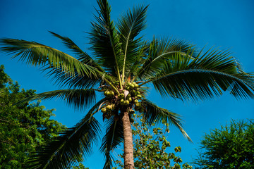 From below shot of green exotic palm with raw coconut fruit on blue sky background.