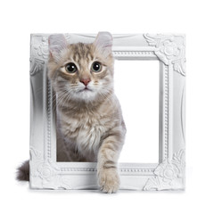 Lilac blotched tabby American Curl cat / kitten walking / stepping through a white photo frame isolated on white background