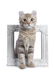 Lilac blotched tabby American Curl cat / kitten sitting through a white photo frame isolated on white background