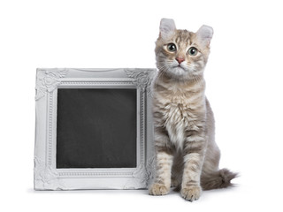 Lilac blotched tabby American Curl cat / kitten sitting next to a white photo frame filled with writable blackboard isolated on white background