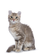 Lilac blotched tabby American Curl cat / kitten sitting side ways looking straight to the camera isolated on white background.