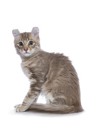 Lilac blotched tabby American Curl cat / kitten sitting side ways looking shy to the camera isolated on white background.