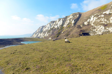 Schafe in Samphire Hoe Country Park
