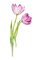 watercolor drawing pink tulips