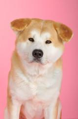 Fototapeta Akita Inu auf pinkem Hintergrund