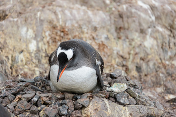 Gentoo penguin's chicks in nest