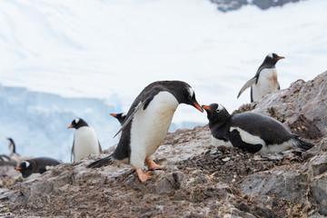 Gentoo penguins on beach