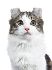 Head shot of black tabby with white American Curl cat / kitten looking straight to the camera isolated on white background.