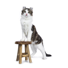 Black tabby with white American Curl cat / kitten standing with front paws on wooden stool facing camera isolated on white background.
