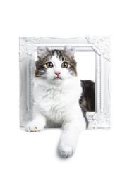 Black tabby with white American Curl cat / kitten laying through a white photo frame looking to the camera isolated on white background.