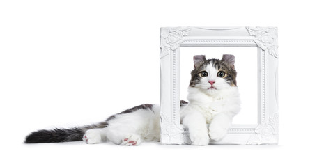 Black tabby with white American Curl cat / kitten laying sideways through a white photo frame isolated on white background.