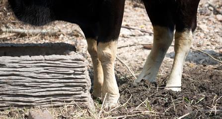 Buffalo legs