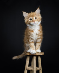 Red tabby with white Maine Coon cat / kitten sitting on a wooden stool looking into the camera isolated on black background.