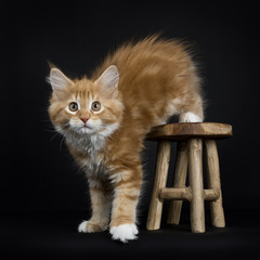 Red tabby with white Maine Coon cat / kitten stepping of on a wooden stool isolated on black background.