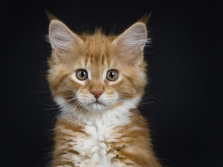 Head shot of red tabby with white Maine Coon cat / kitten looking straight into the camera isolated on black background.
