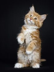 Red tabby with white Maine Coon cat / kitten standing on back paws dancing isolated on black background.