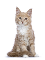 Creme Maine Coon cat / kitten sitting facing the camera looking curious isolated on white background.