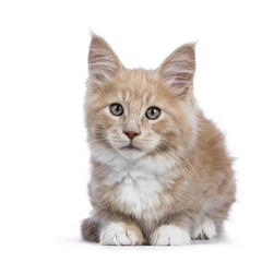 Creme Maine Coon cat / kitten laying down facing the camera isolated on white background.