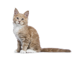 Creme Maine Coon cat / kitten sitting sideways and looking into the camera isolated on white background.