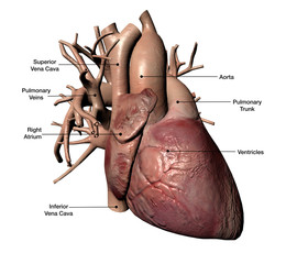 Human Heart with Coronary Arteries and Veins Labeled