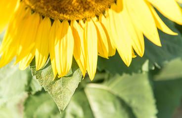 Sunflower Closeup with Pollen Laden Leaf