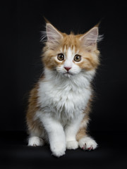 Red tabby high white Maine Coon cat / kitten sitting with one paw in the air isolated on black background.