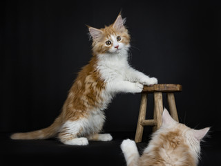 Red tabby high white Maine Coon cat / kitten standing with front paws on wooden stool with sister photobombing the picture isolated on black background.