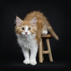 Red tabby high white Maine Coon cat / kitten stepping from the wooden stool looking to the camera isolated on black background.