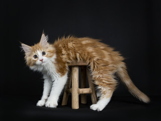oops moment from red tabby high white Maine Coon cat / kitten misstepping over the wooden stool looking into the camera isolated on black background.