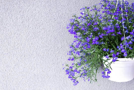 Sky Blue Lobelia erinus in hanging flowerpot.